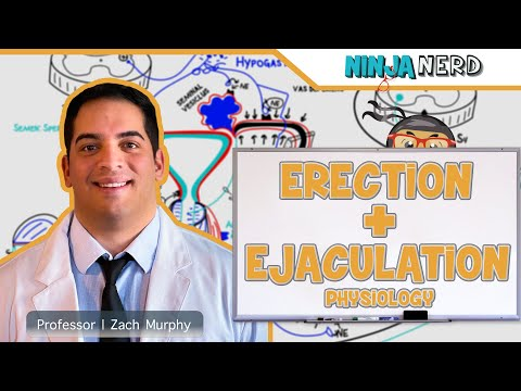 Male Reproductive System   Erection & Ejaculation