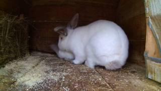 Случка кроликов или