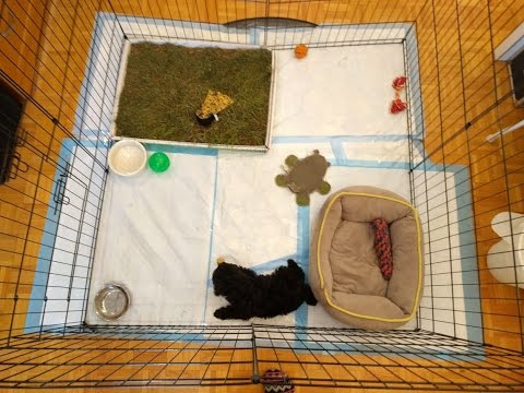 Miniature Poodle Puppy 8 weeks old Playing in His PlayPen (Ex-Pen)