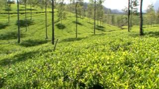 Как растет чай(, 2014-10-15T12:19:36.000Z)