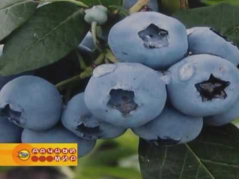 Новые сорта плодовых деревьев и ягодных кустарников осеннее посадки