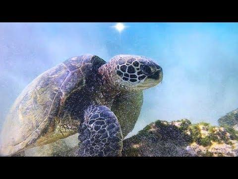 Maui GIANT Sea Turtles +Tropical Fish
