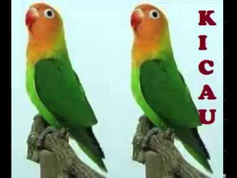 suara lovebird adu stamina gacor cocok untuk masteran