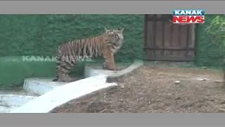 Tiger Killed Monkey In Nandankanan