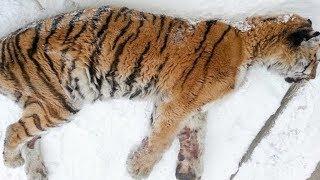 Während der Suche nach menschlicher Hilfe wartet ein Tiger vor der Haustür eines Mannes!