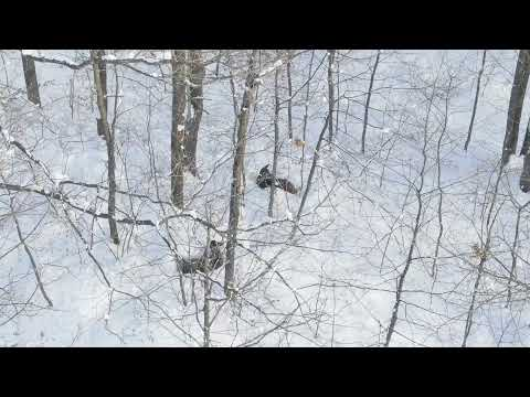 Whitetail Deer Wild In The Forest
