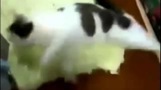 Все видели бегущую во сне собаку, но чтобы кошка...Мега прикол #2