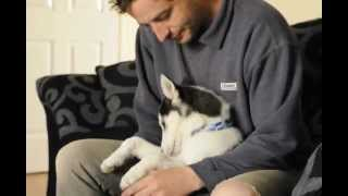 "Husky puppy learning to say ""I love you"""