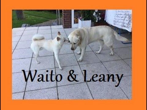 Shiba Inu & Labradoodle (Waito and Leany)