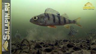 Окунь под водой в глухозимье [salapinru].