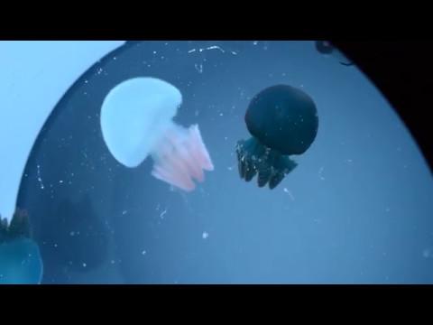 Blue Blubber Jellyfish Feeding Time