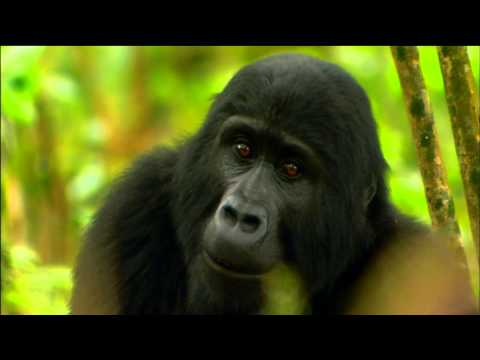 Gorilla Mating Games | Love in The Animal Kingdom | Nature on PBS