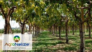 Campo demo: difesa fungicida dell'uva da tavola