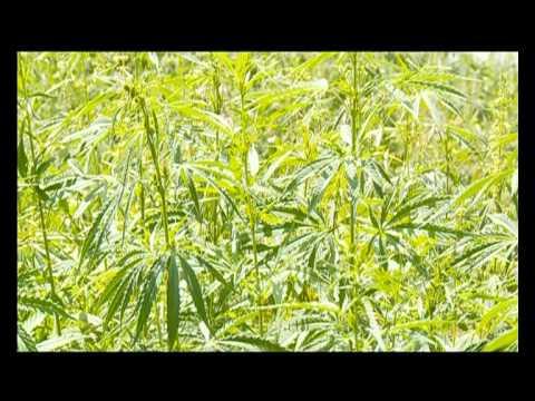 Конопля в насвае как убить в моче марихуану