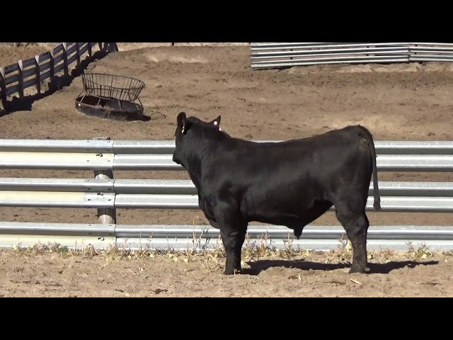 Connealy Angus Lot 193