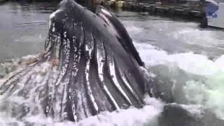 Кит возле берега(Кит возле берега. Приплыл по кормиться., 2016-05-05T21:25:40.000Z)