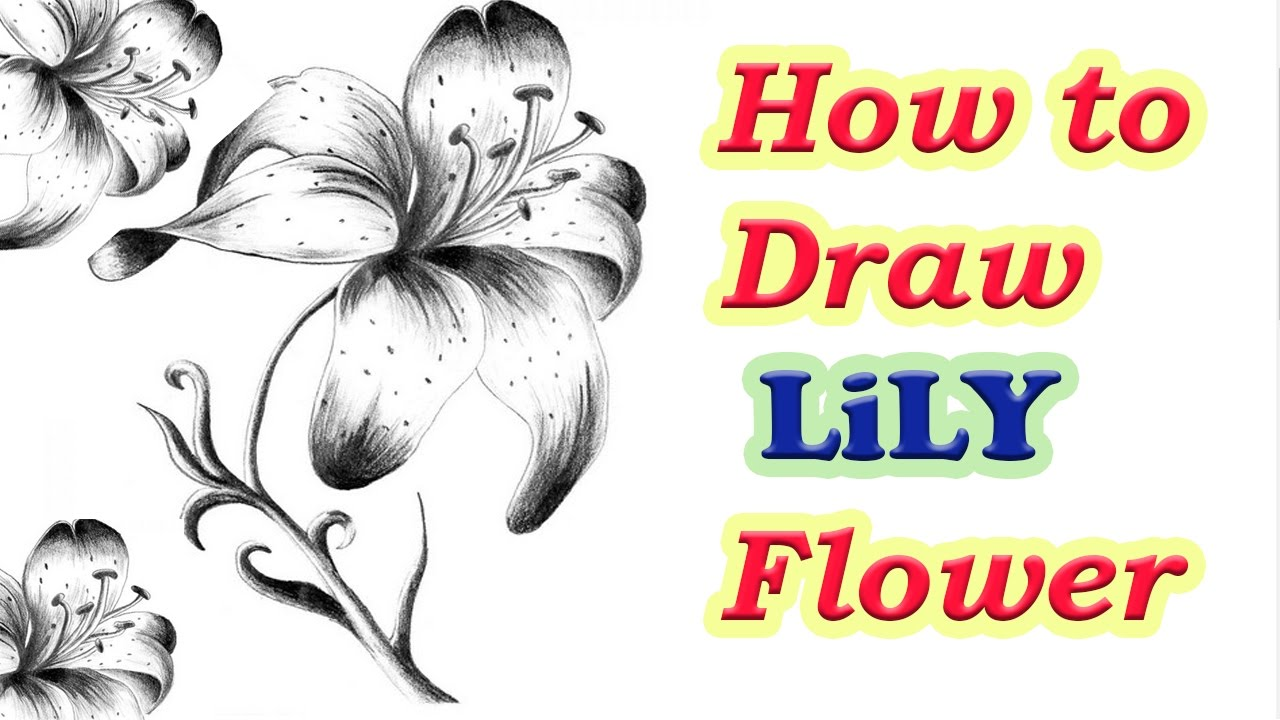 How To Draw Lily Flower Step By Step | How To Draw A ...