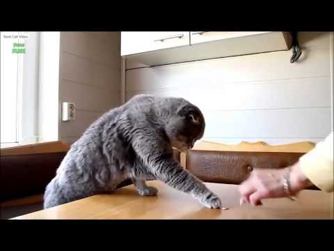 Ultimate Scottish Fold Cat Video Compilation 2014 NEW HD    Best Cat Video Compilation