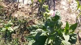 Tobacco Cultivation India [Seeds]