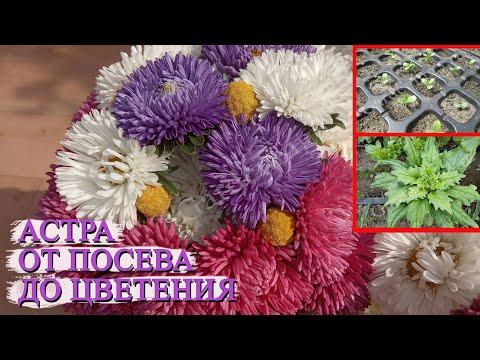 Выращивание рассады астры из семян без пикировки От посева до цветения