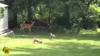 Dogs and Deer | Amazing Playful Interactions