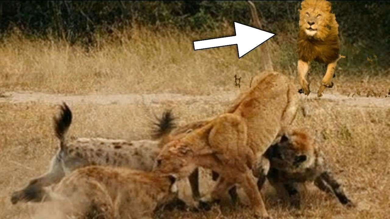 Hyenas Attack Lioness But Male Lion Comes For Revenge -2001