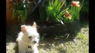 Lulu New Haircut Petfinder.com Cairn Terrier