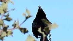 Phainopepla (Phainopepla Nitens) Bird, Kingman Arizona