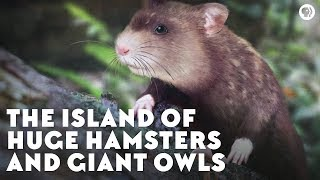 The Island of Huge Hamsters and Giant Owls