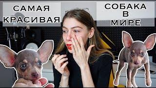 КУПИЛИ СОБАКУ! ♥ РУССКИЙ ТОЙ ТЕРЬЕР ♥ РЕАКЦИЯ!  ПОЧЕМУ Я ПЛАЧУ? ПОКУПКИ ИЗ ЗООМАГАЗИНА ДЛЯ ЩЕНКА
