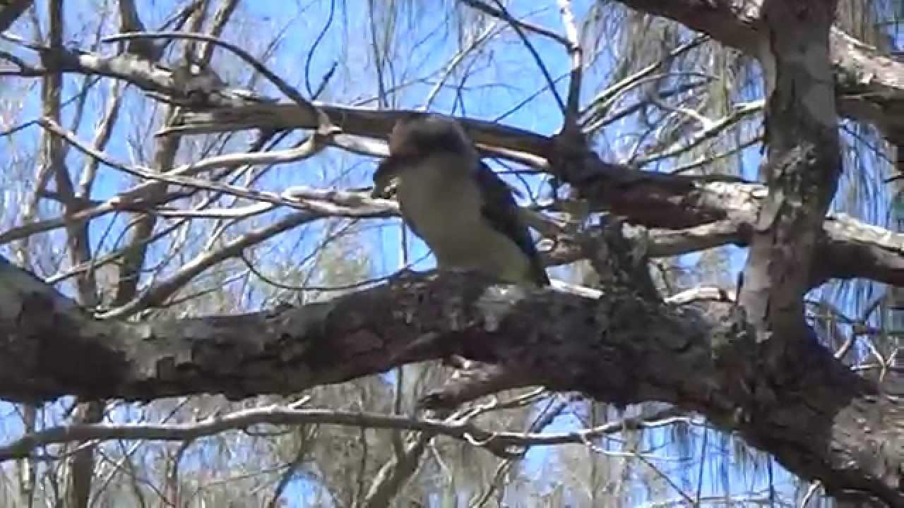 how to make a kookaburra sound