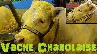 Vache Charolaise - Bos taurus - Linnaeus, 1758 - Salon de l'Agriculture 2015 - 03/2015