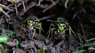 yellow-jacket-vs-weed-wacker-wasp-ground-nest