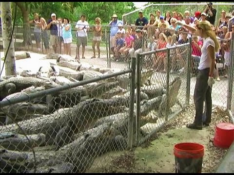 Thumbnail: Rat Feeding Time at Everglades Alligator Farm - Florida