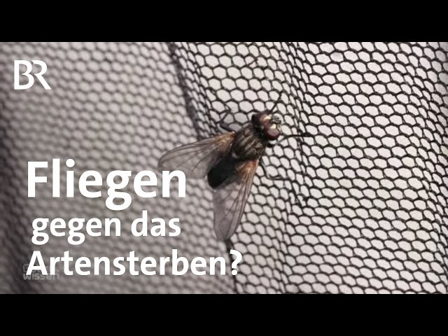 Artensterben: Fliegenzucht auf Bauernhof - Ohne Misthaufen keine Stubenfliegen?   Gut zu wissen   BR