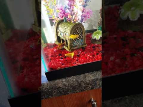 Glofish Spawning And Laying Eggs