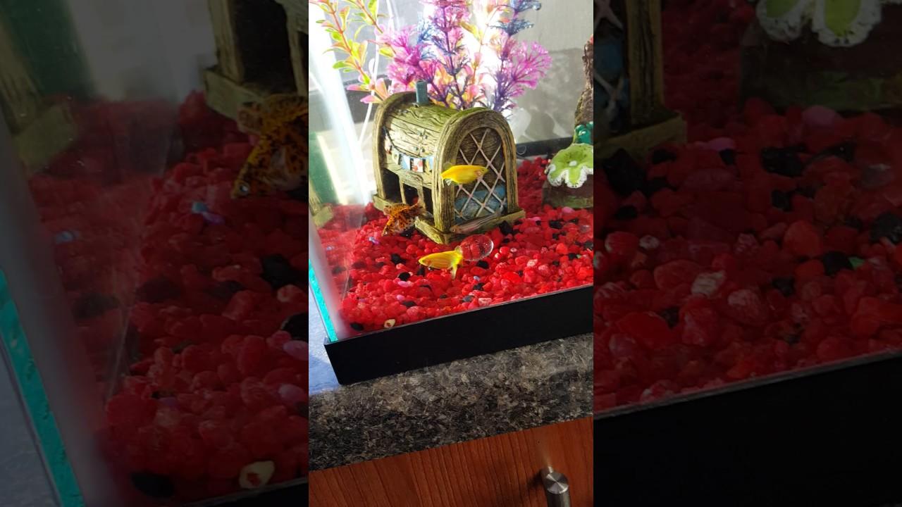Glofish spawning and laying eggs - YouTube