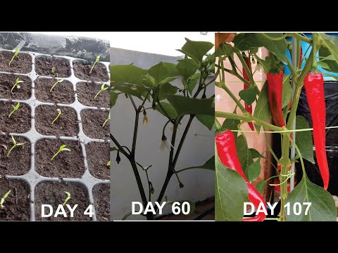 How to grow chili pepper using cocopeat only