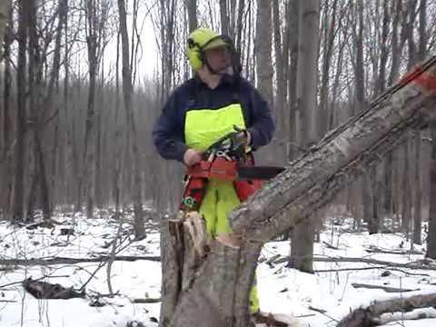 Sachs-Dolmar 115i cutting a yellow birch down