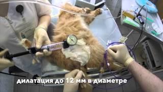 Этапная дилатация стриктуры уретры у кота. www.endovet.com
