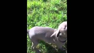 Misty Oak Weimaraner Puppies Brown And Purple: Sit And Lay