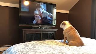 This Adorable Bulldog LOVES Horror Movies!