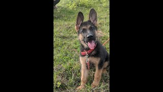 Working Line German Shepherd puppy growing up from 23 days to 10 Months Old   Dawn