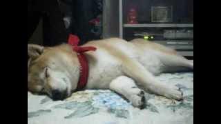 http://moko0311.blog.fc2.com/ 柴犬もこちゃんのブログはこちら 昼間に...