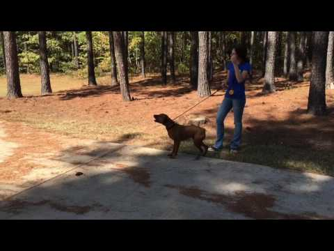 One Day Transformation of Hyperactive Pulling Barking Dog.