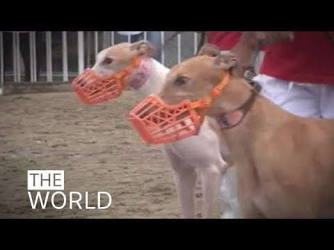 What will happen to more than 600 Australian-bred greyhounds when Macau's infamous Canidrome closes?
