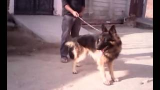 Show Quality German Shepherd For Sale In Agra By Charm Kennel No.. 09639983601