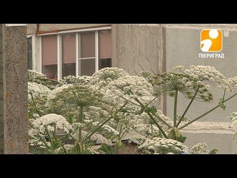 Борщевик. Опасное растение