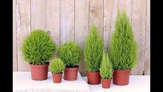 ТОП-10 лучших ХВОЙНЫХ растений для КОМНАТНОГО ЦВЕТОВОДСТВА | Фото и названия