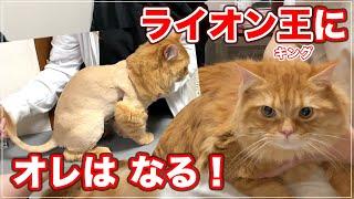 【ボブちゃん】ライオンちゃんになりたかった猫、ライオン王にオレはなる!【サイベリアン】